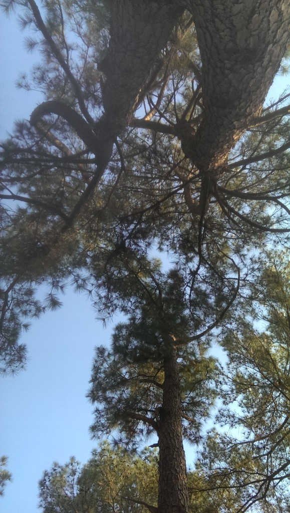 View looking straight up into the tall trees and blue sky.